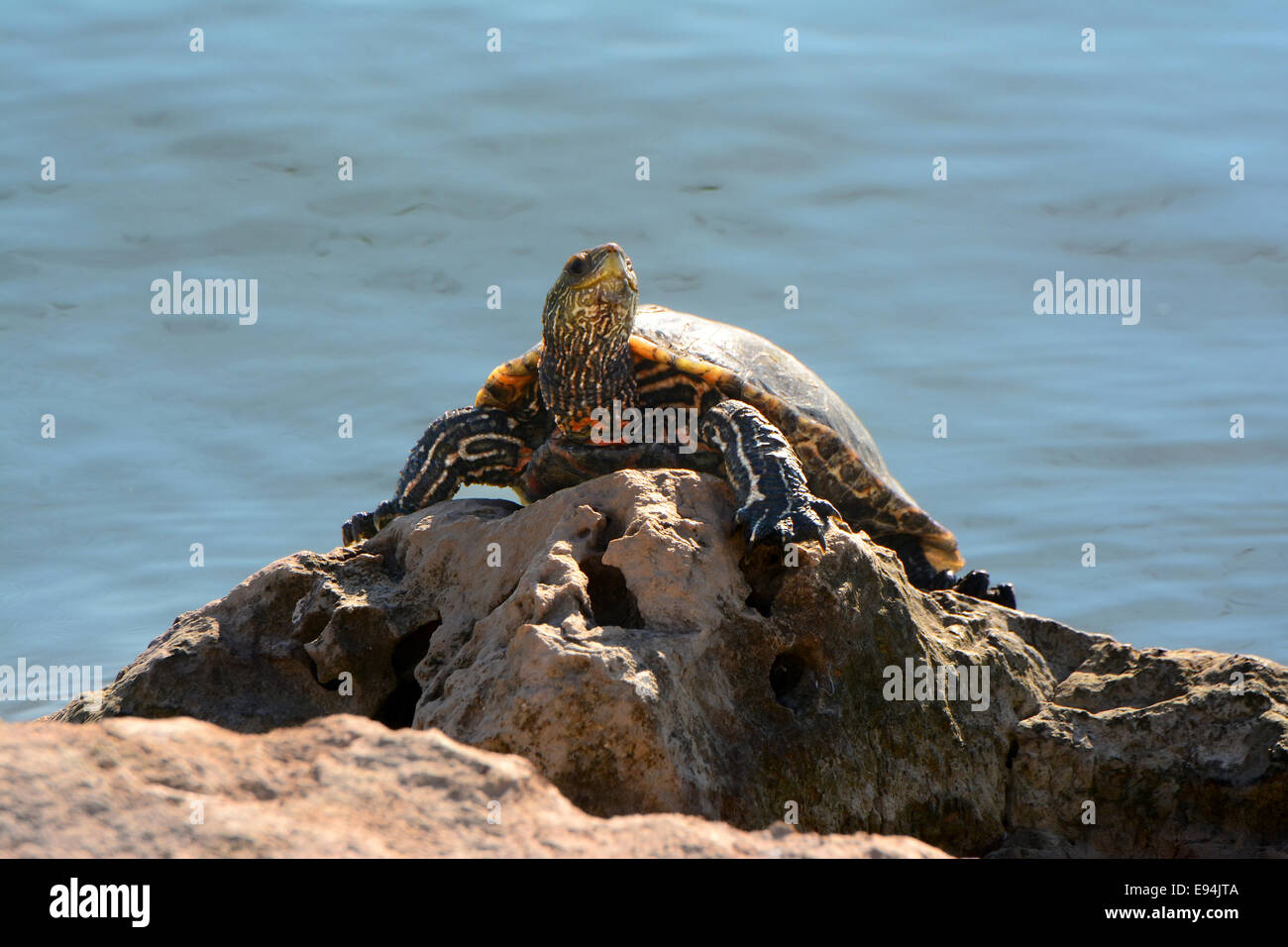Swamp turtle basking in the sun - Stock Image