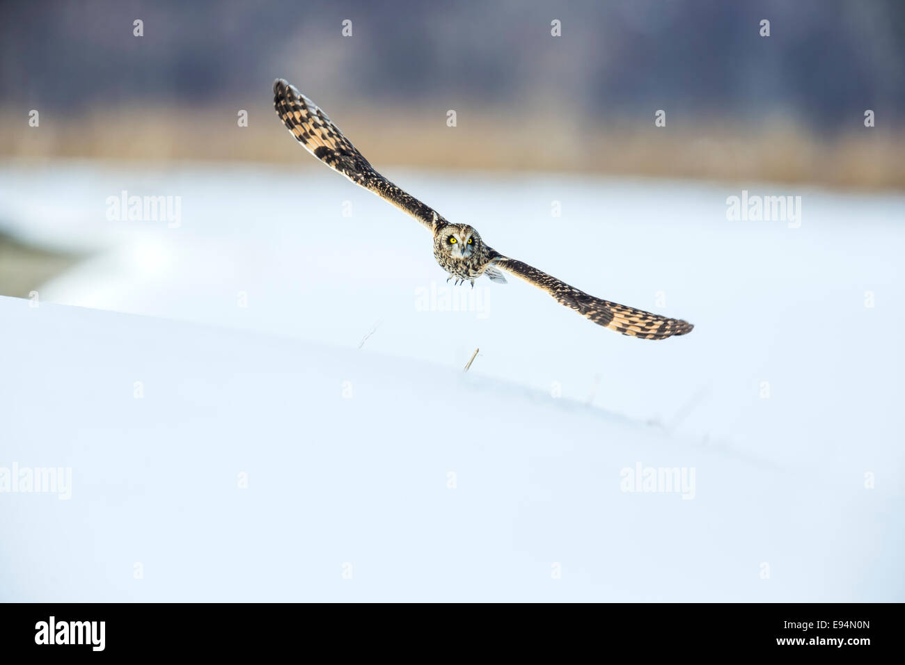 Short-eared Owl taking off with its wings widespread Stock Photo