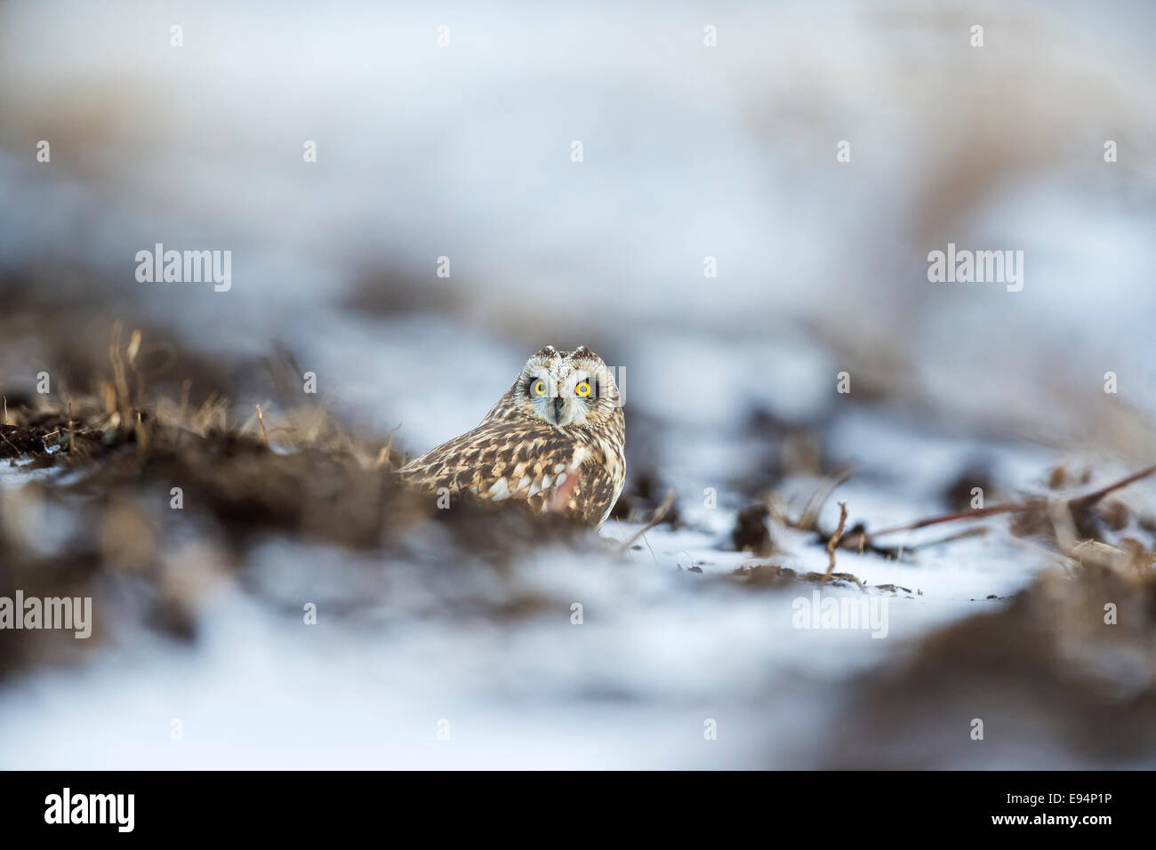Short-eared Owl hiding low on the ground from predators Stock Photo