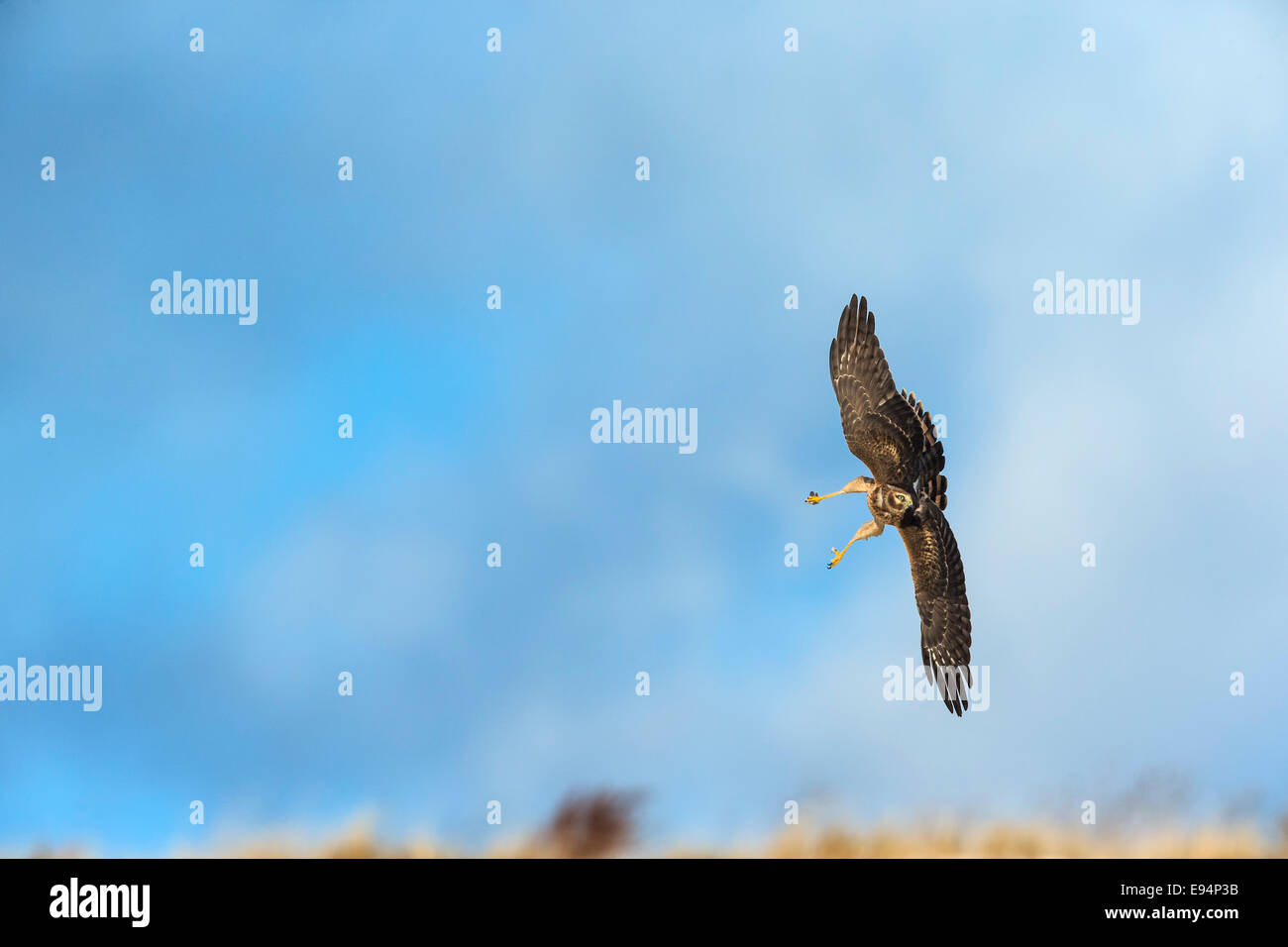 Northern Harrier going down, with its legs extended,  to catch a prey - Stock Image