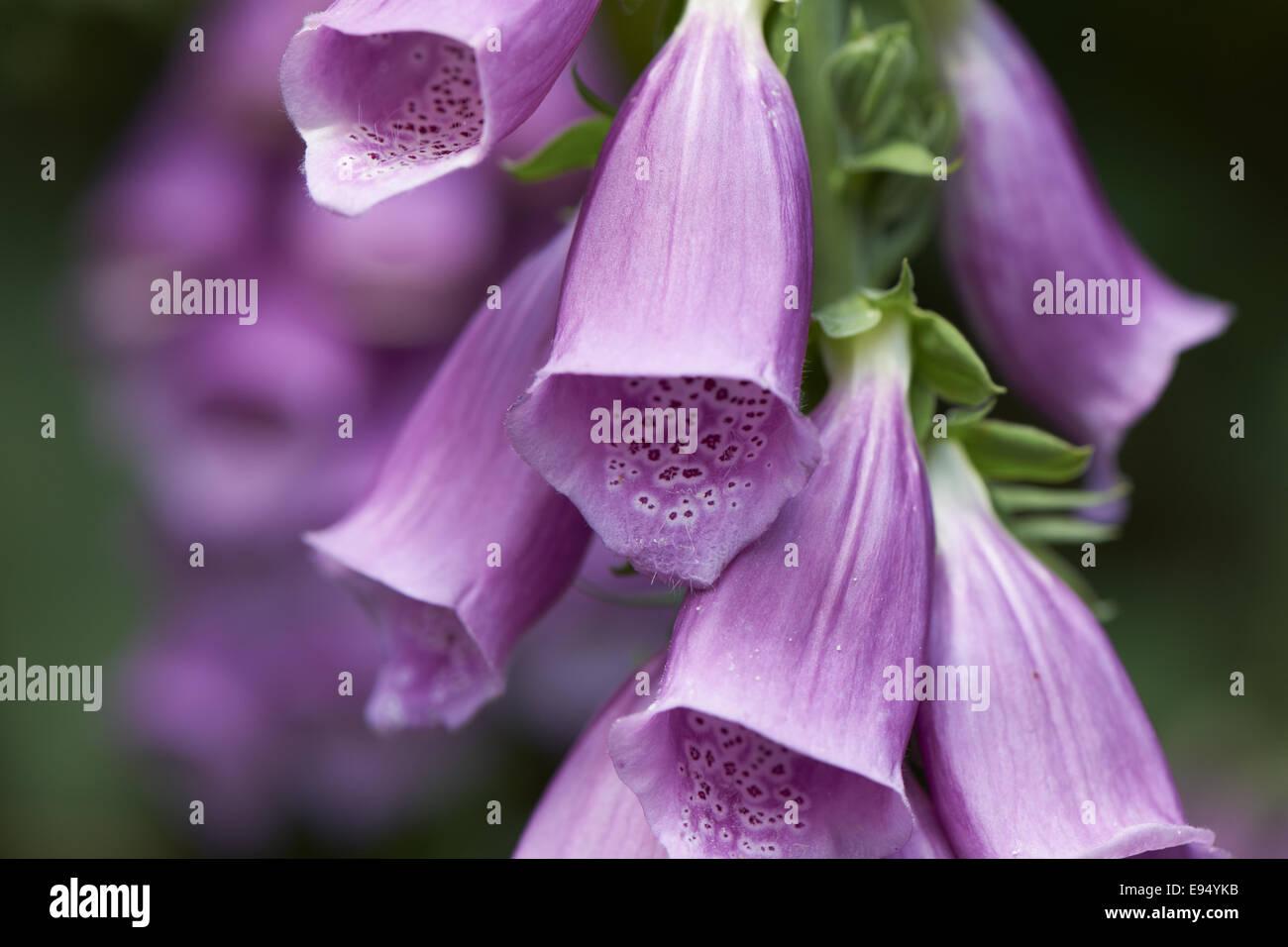 Purple Foxglove Stock Photo
