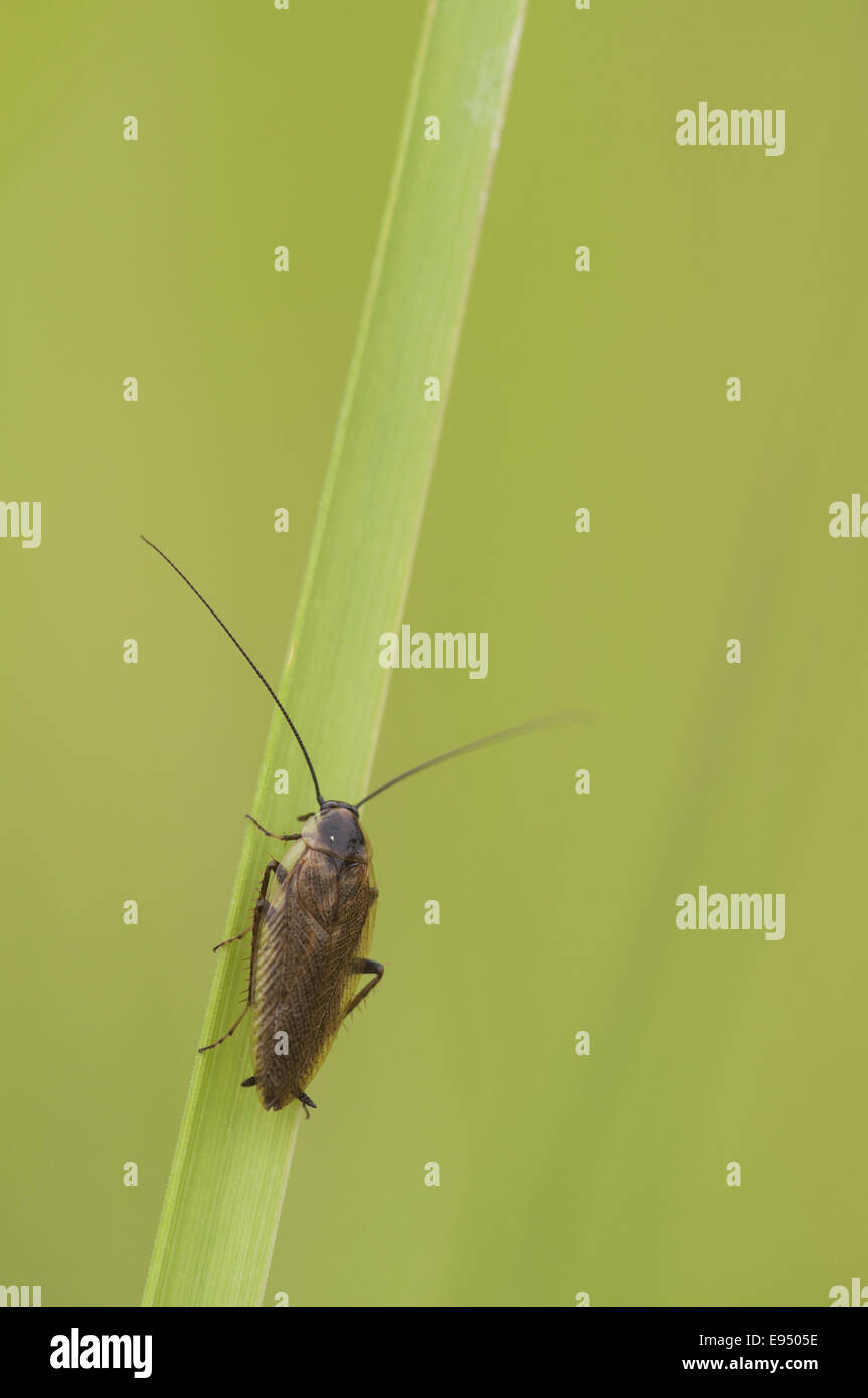 Cockroach (Ectobius lapponicus), Germany - Stock Image