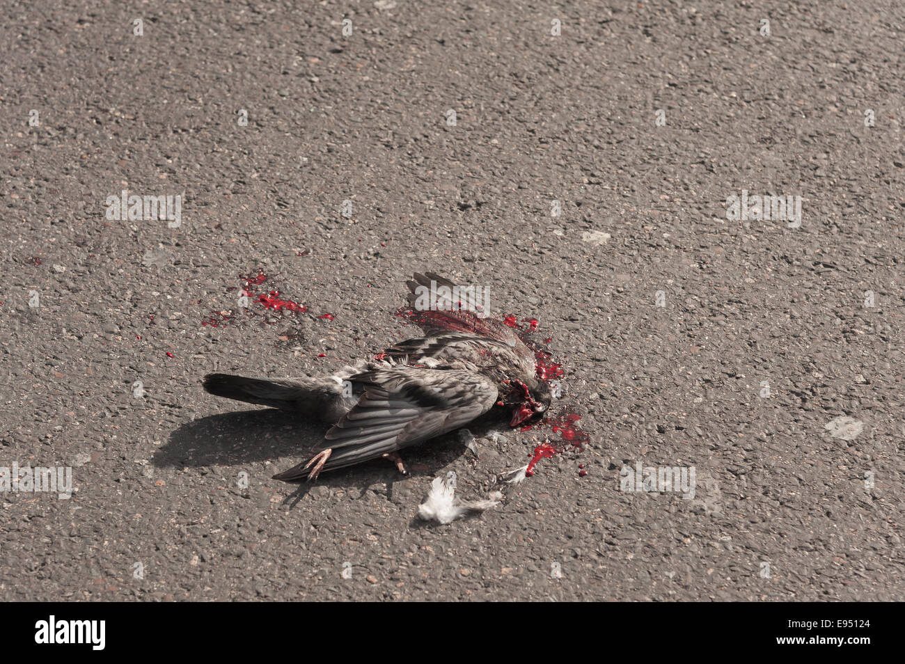 Hazards of dodging the traffic at Trafalgar square a pigeon has just been killed by a bus run over - Stock Image