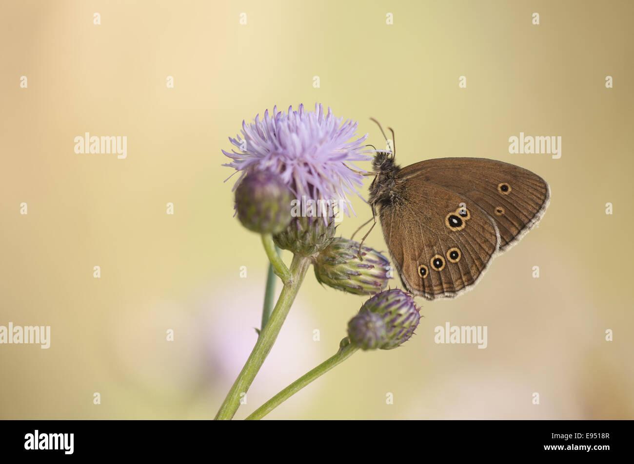 Ringlet (Aphantopus hyperantus), Germany Stock Photo