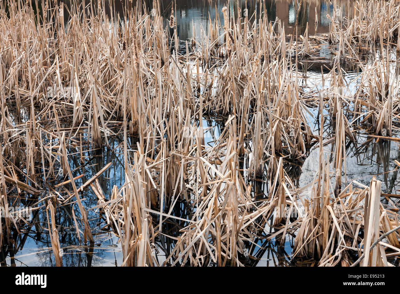 Swamp with dead plants at autumn - Stock Image