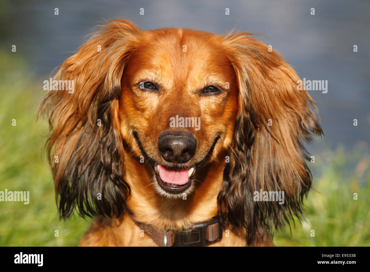 long haired dachshund male dog 7 years north rhine westphalia