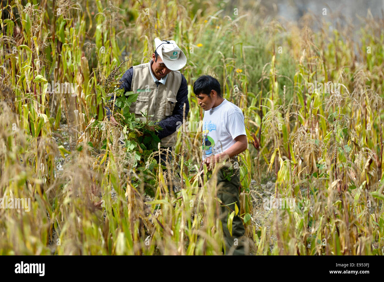 A development aid worker and a traditional farmer in a corn field, Chuquis, Huanuco Province, Peru - Stock Image
