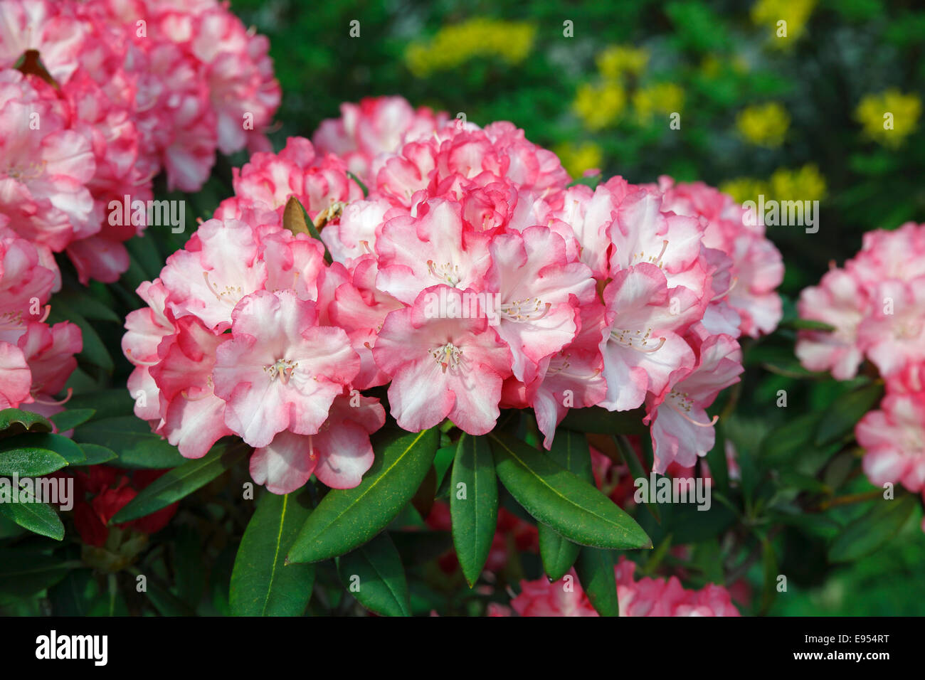 Rhododendron (Rhododendron), flowering - Stock Image