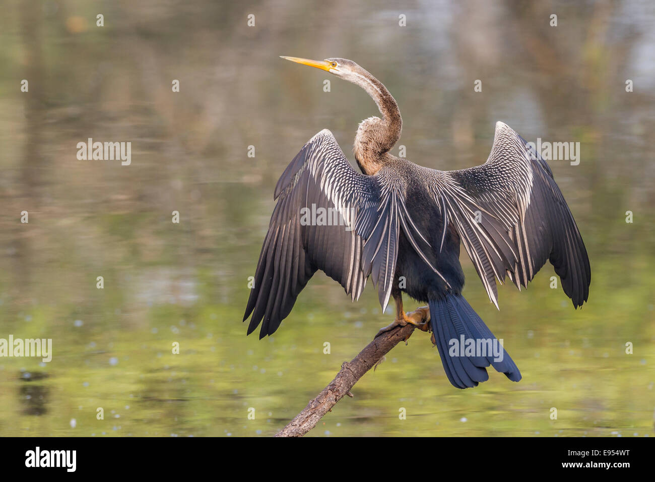 Oriental Darter (Anhinga melanogaster), Keoladeo National Park, Rajasthan, India - Stock Image