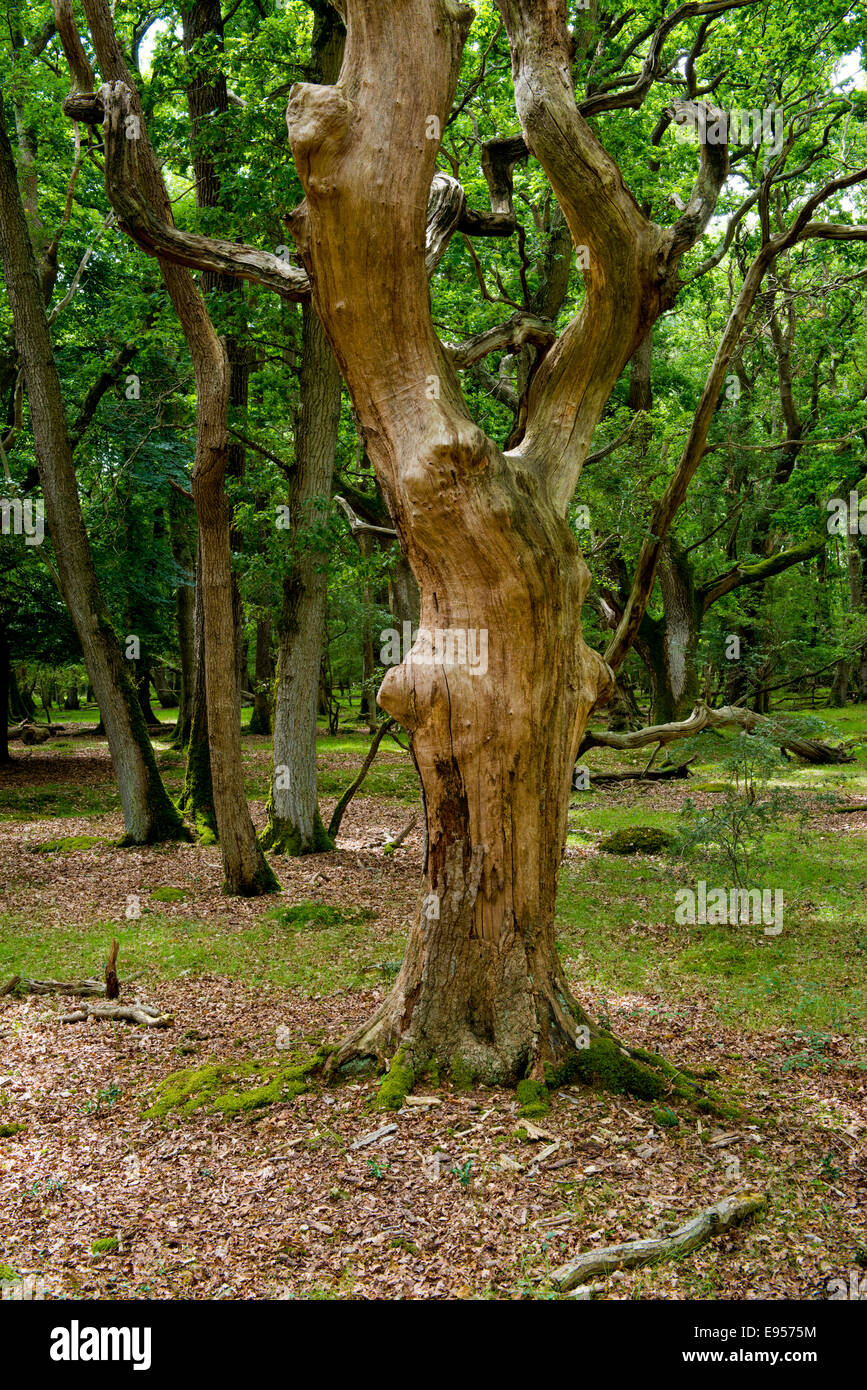 , New Forest, Hampshire, England, UK, - Stock Image