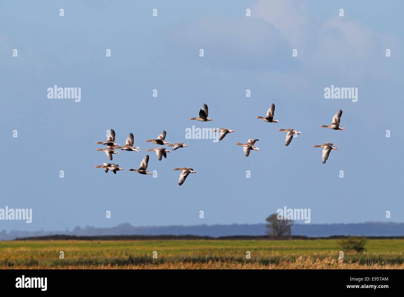 Flying greylag geese (Anser anser), bird migration, fall migration, Mecklenburg-Western Pomerania, Germany - Stock Image