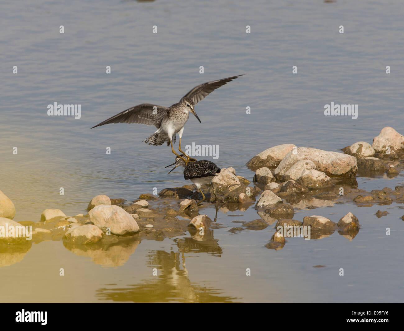 Wood Sandpipers Tringa glareola fight on waters edge over territory - Stock Image