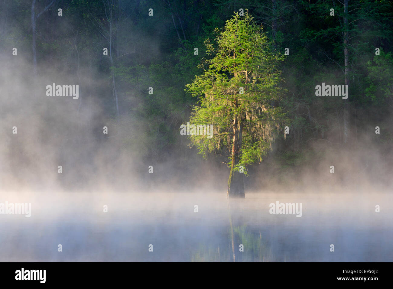 Bald Cypress draped with Spanish Moss on foggy morning. Bates Old River, Congaree National Park, South Carolina, spring. Stock Photo