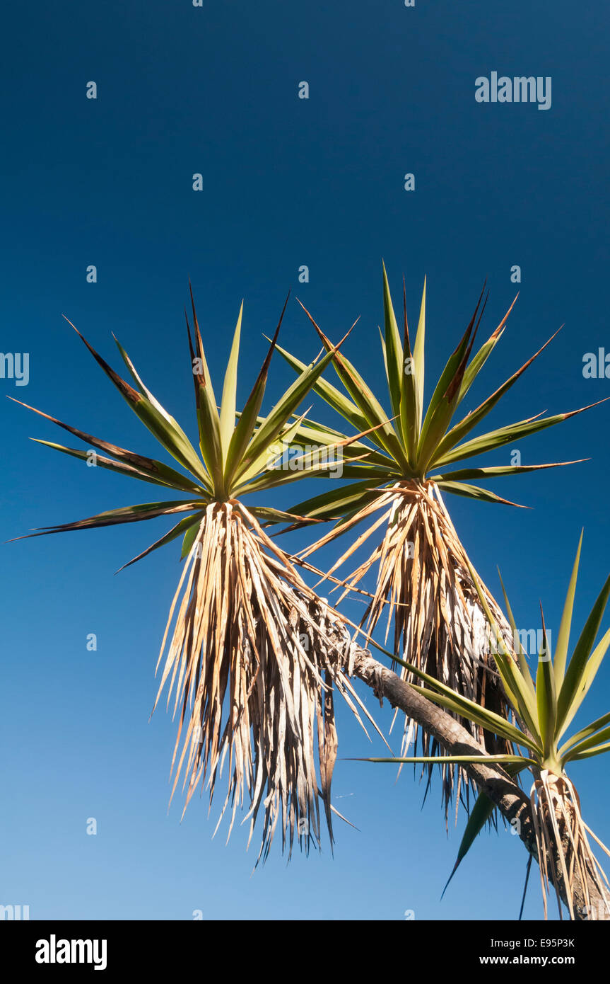 Yucca tree, Yucca elephantipes, with blue sky, Santiago Atitlan, Guatemala - Stock Image