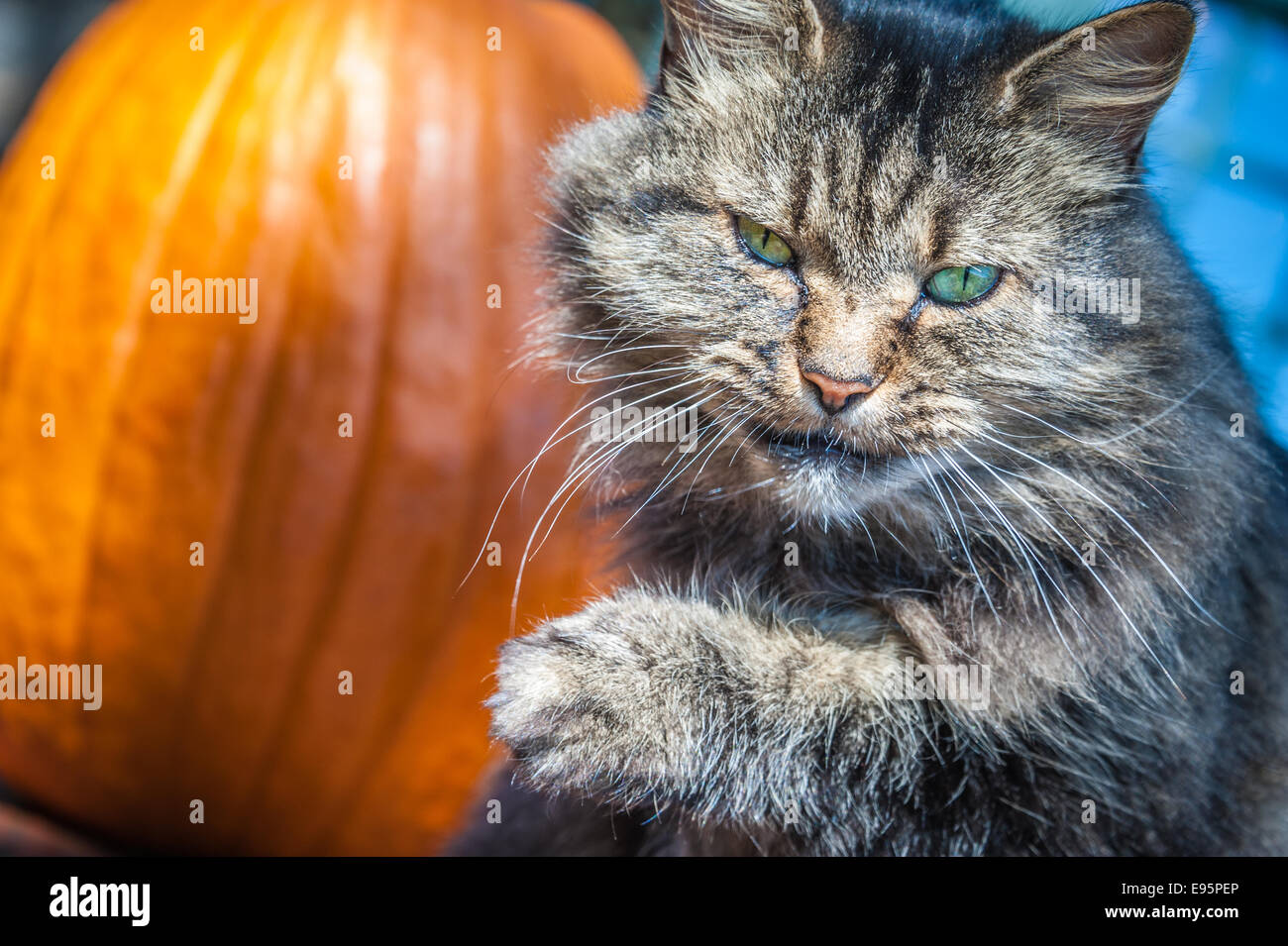 Angry looking green-eyed cat licks her lips and stares intently from her perch in front of a sunlit pumpkin. - Stock Image
