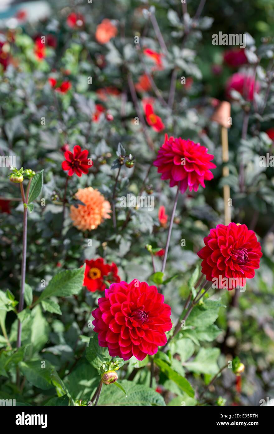 Autumn blooming Dahlias, principally Dahlia 'Con Amore' UK - Stock Image