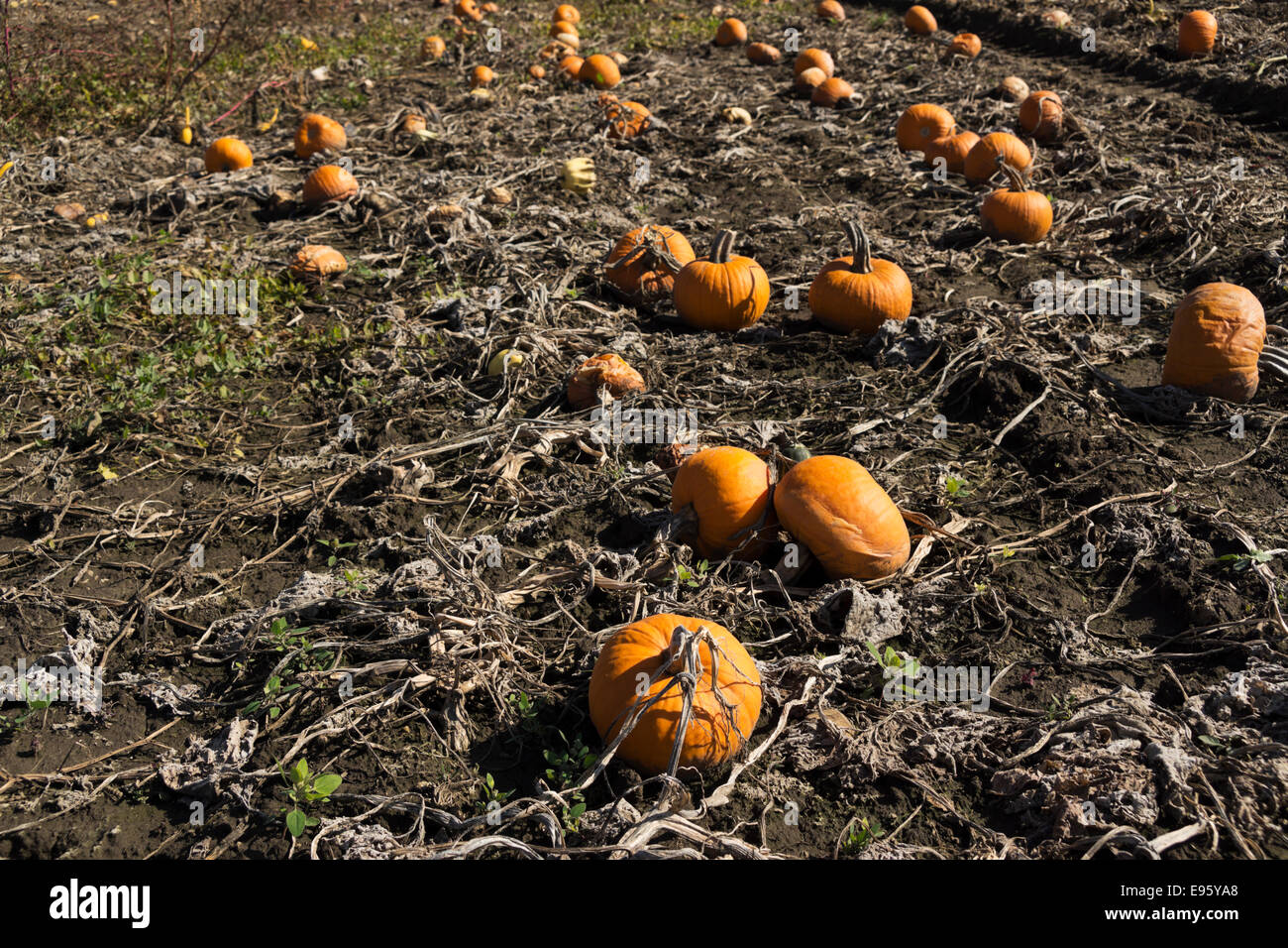 Late season pumpkins lie rotting in a northern Illinois farm field after several heavy frosts. - Stock Image