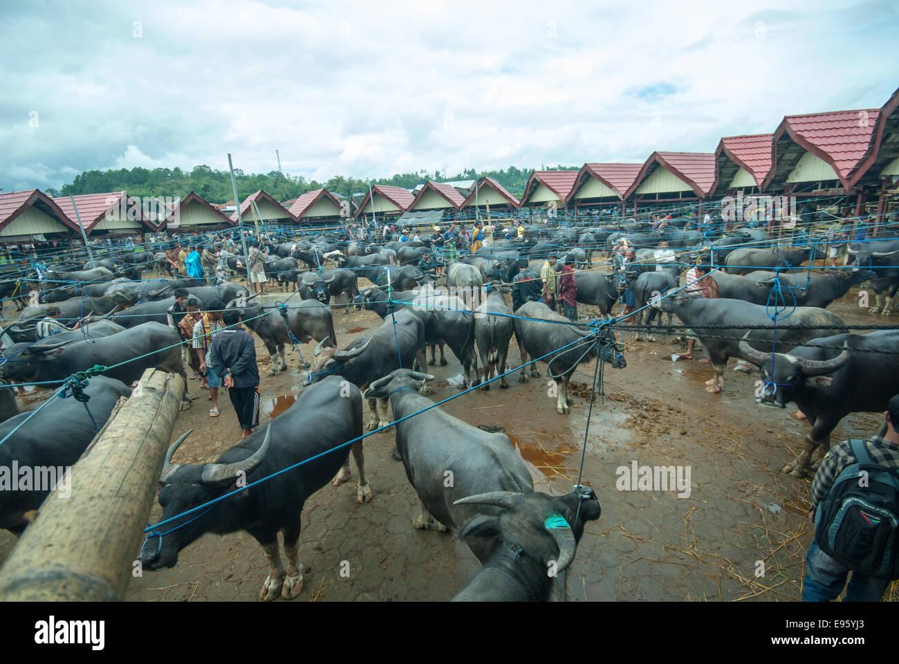 buffaloe and pig market in rantepao sulawesi indonesia - Stock Image