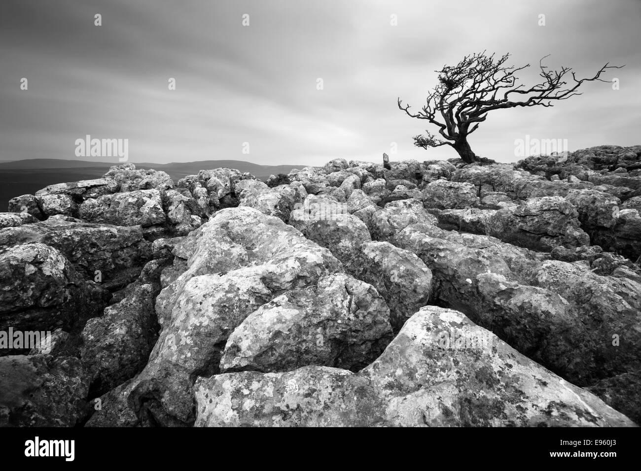 Wind swept tree on the limestone pavements of the Yorkshire Dales near Bordley, Threshfield and Malham. - Stock Image