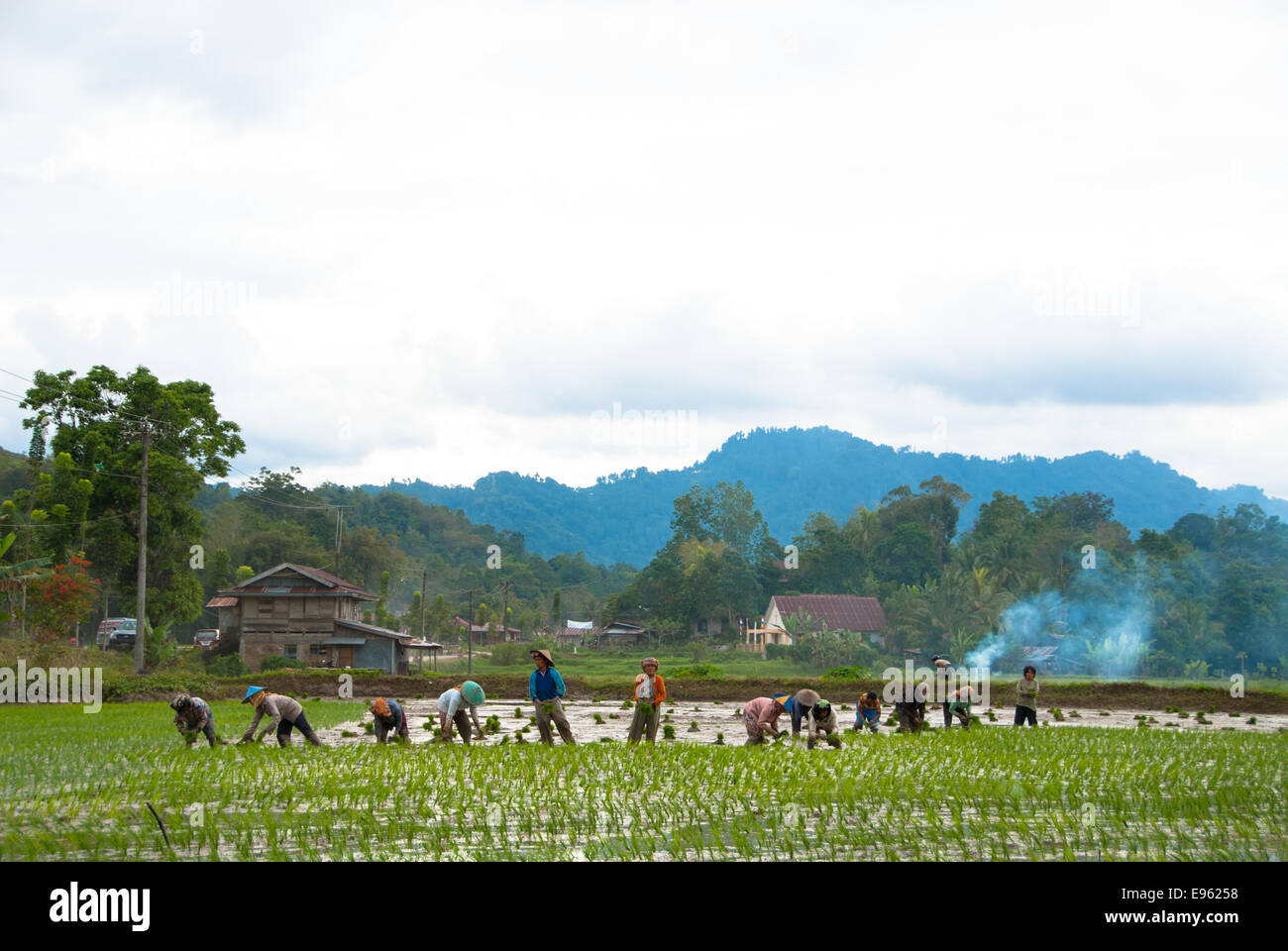 people working on rice paddy in Kete kesu sulawesi indonesia - Stock Image