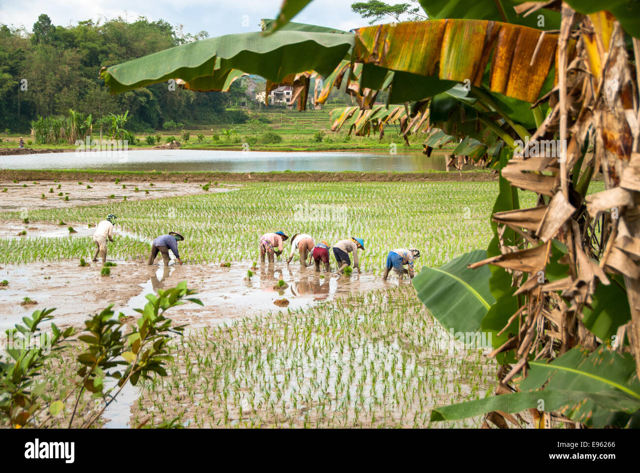 people planting rice plants at paddy in kete kesu at sulawesi in indonesia - Stock Image
