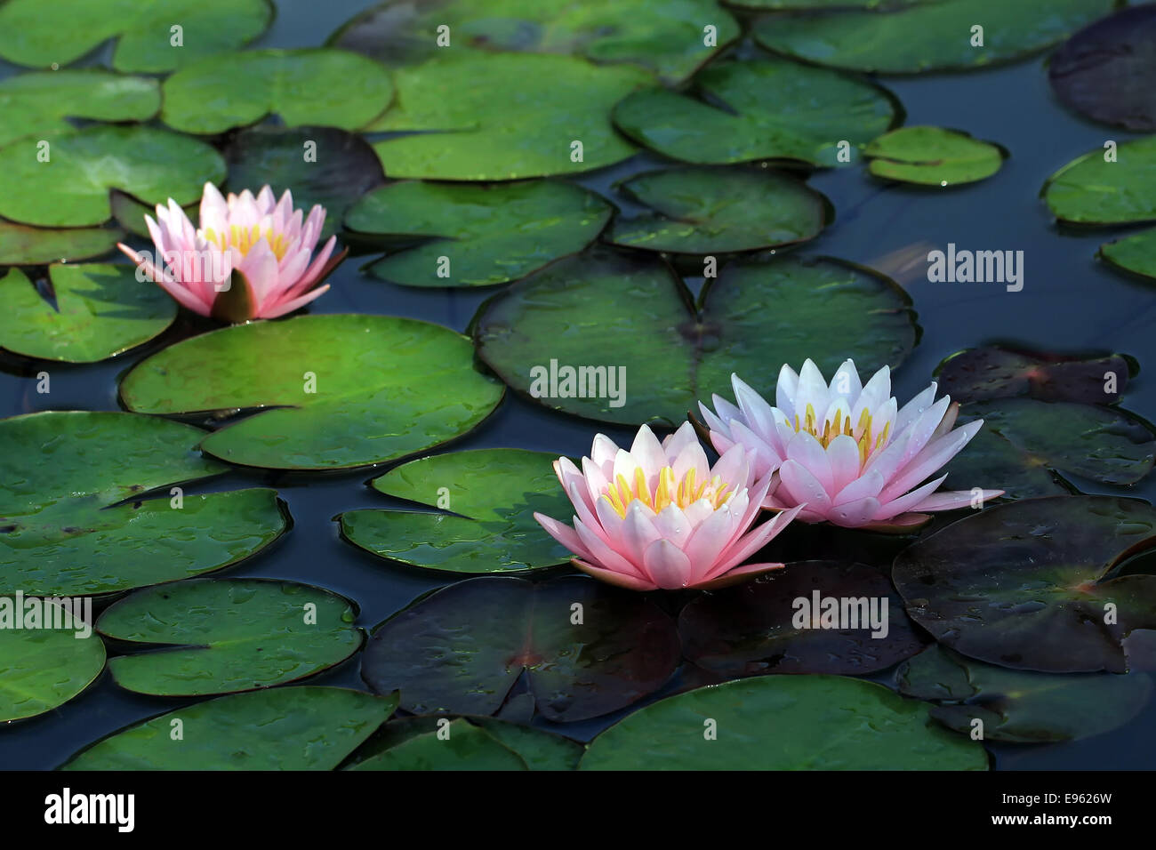 88 most beautiful lotus flower a water lotus in full bloom one of beautiful lotus flower in the pond izmirmasajfo