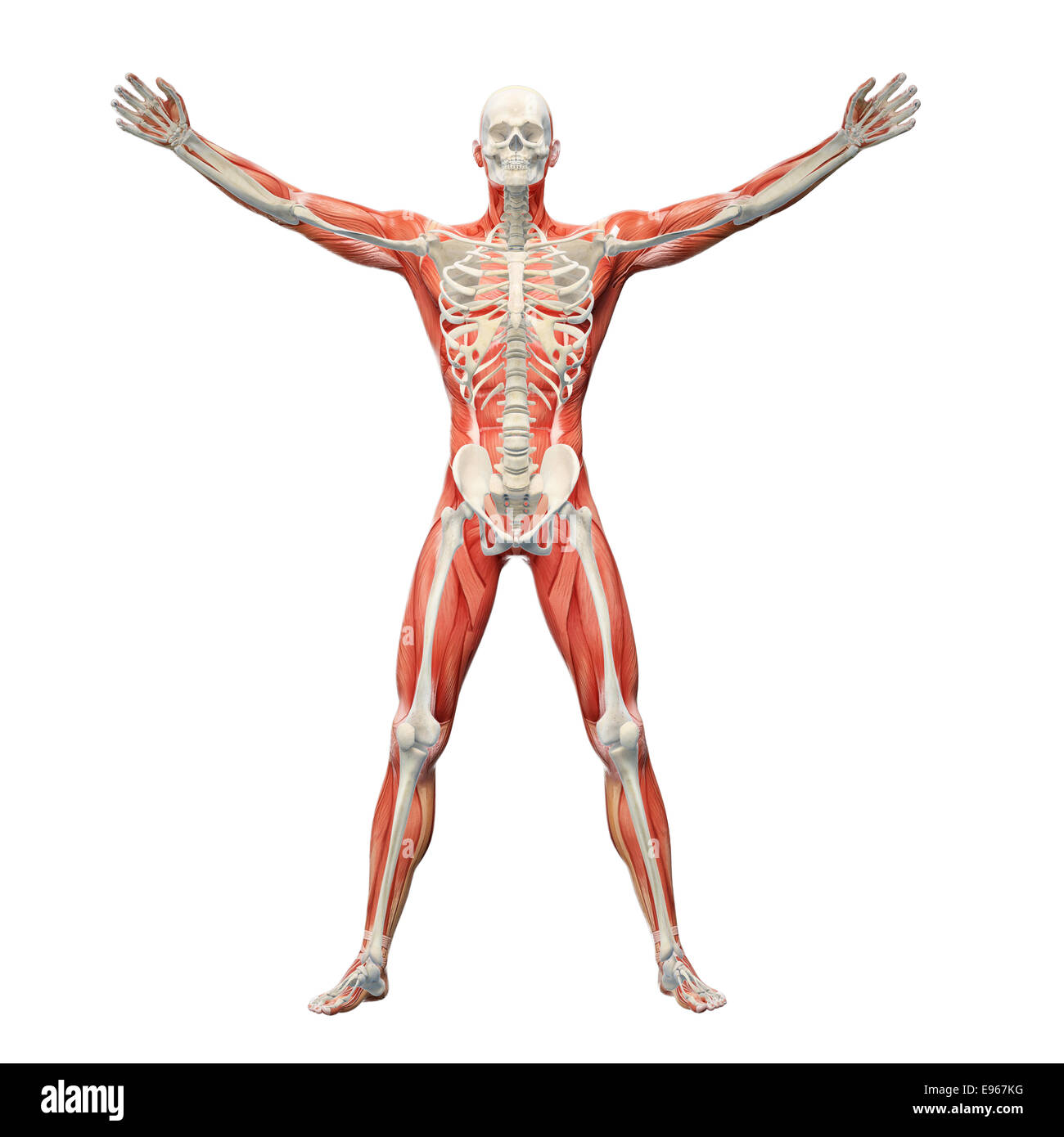 Human Anatomy With Visible Skeleton And Muscles Stock Photo