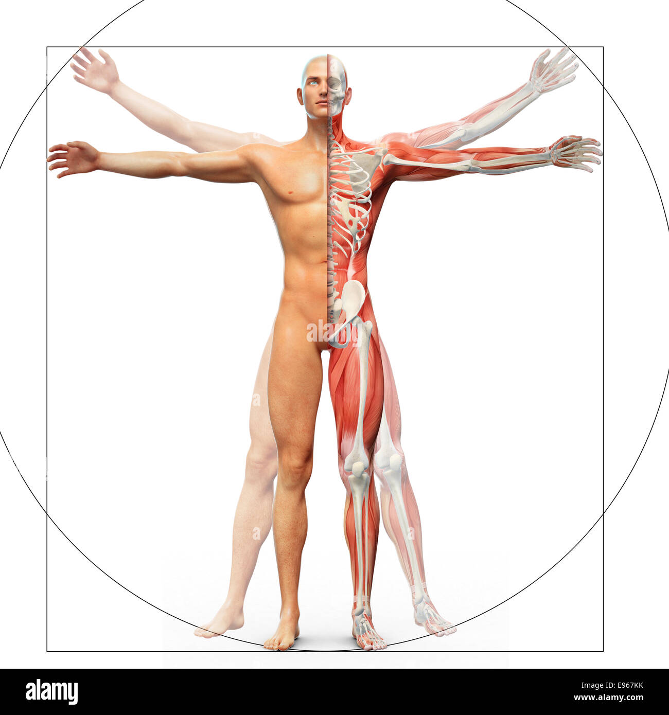 Vitruvian Man Anatomy Stock Photos & Vitruvian Man Anatomy Stock ...