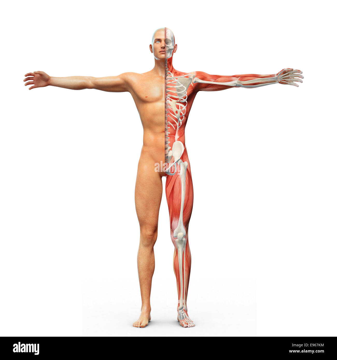 Human anatomy with visible skeleton and muscles - Stock Image