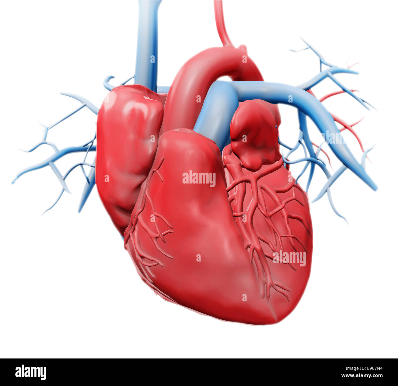 Human heart - cardiology health care illustration - Stock Image