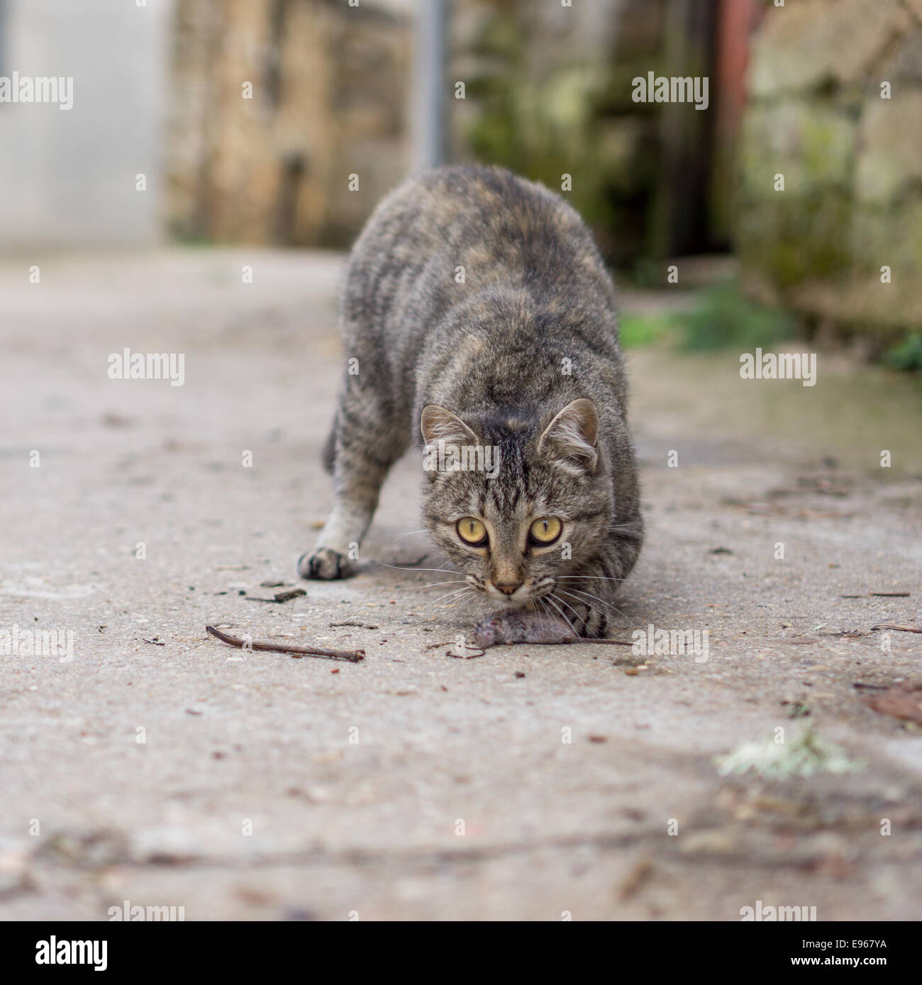 Stray cat just hunted a mouse - Stock Image
