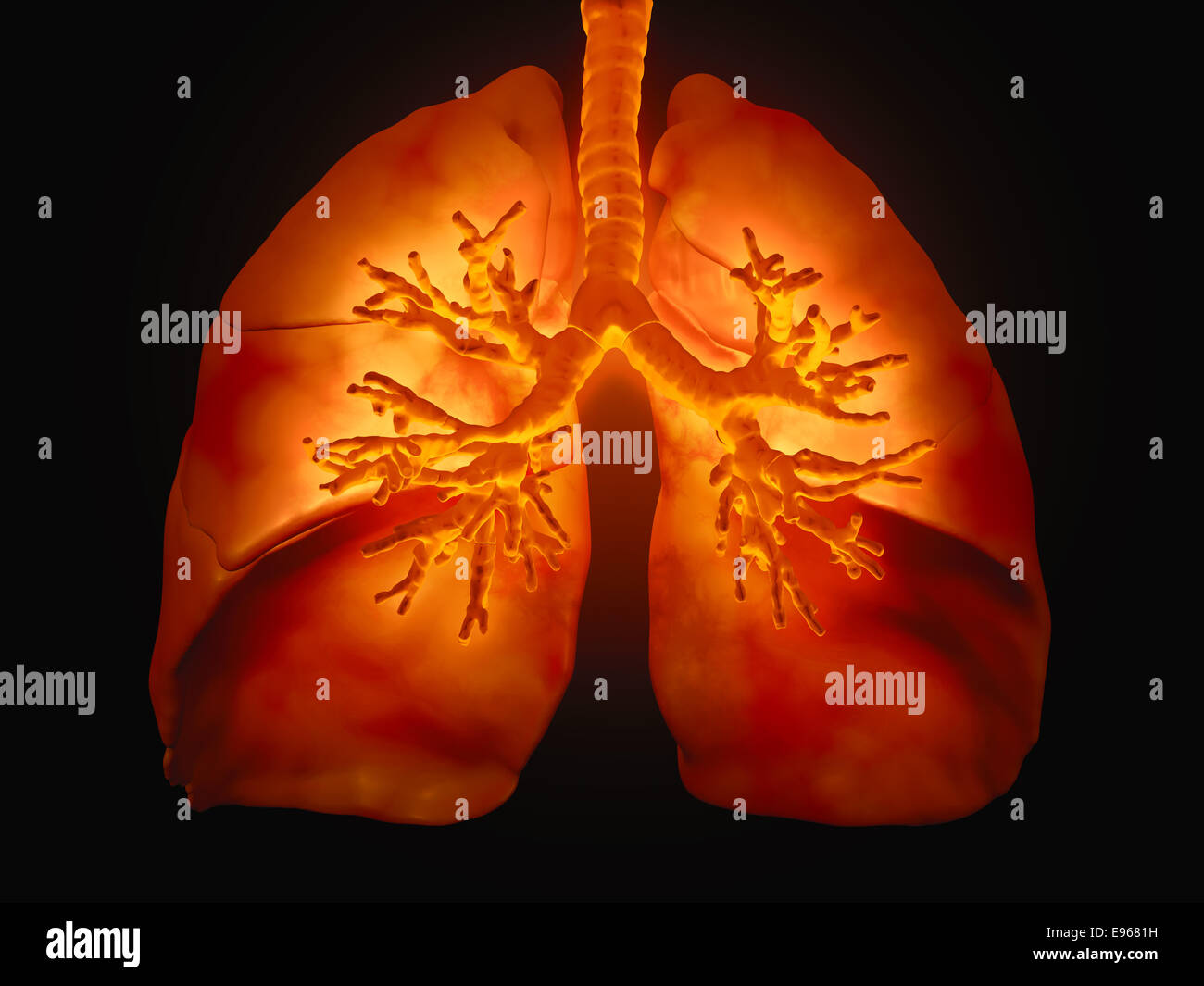 3D medical illustration - lungs with visible bronchi - Stock Image