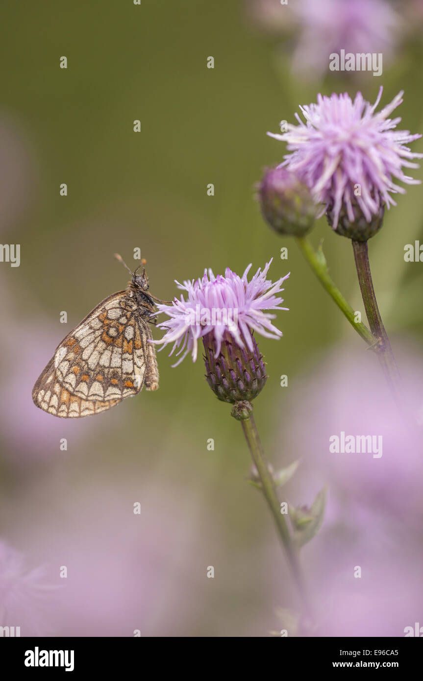 Heath Fritillary  (Melitaea athalia), Germany - Stock Image