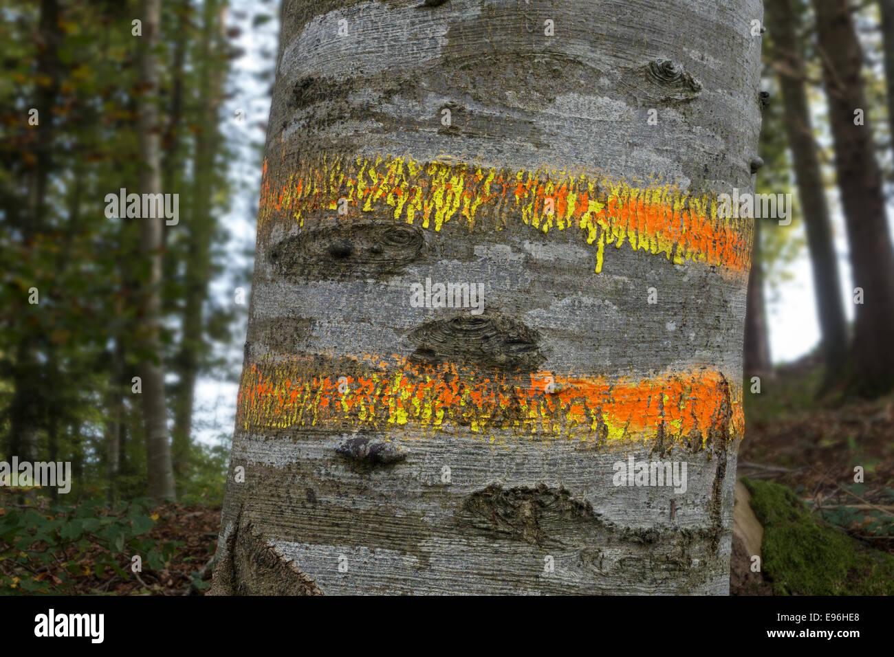 Marked beech trunk Stock Photo