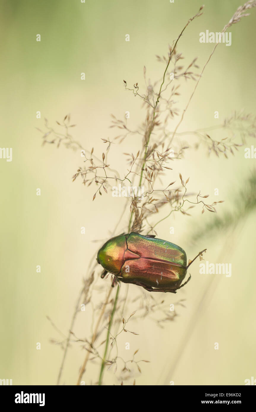 Rose Chafer (Cetonia aurata), Germany - Stock Image