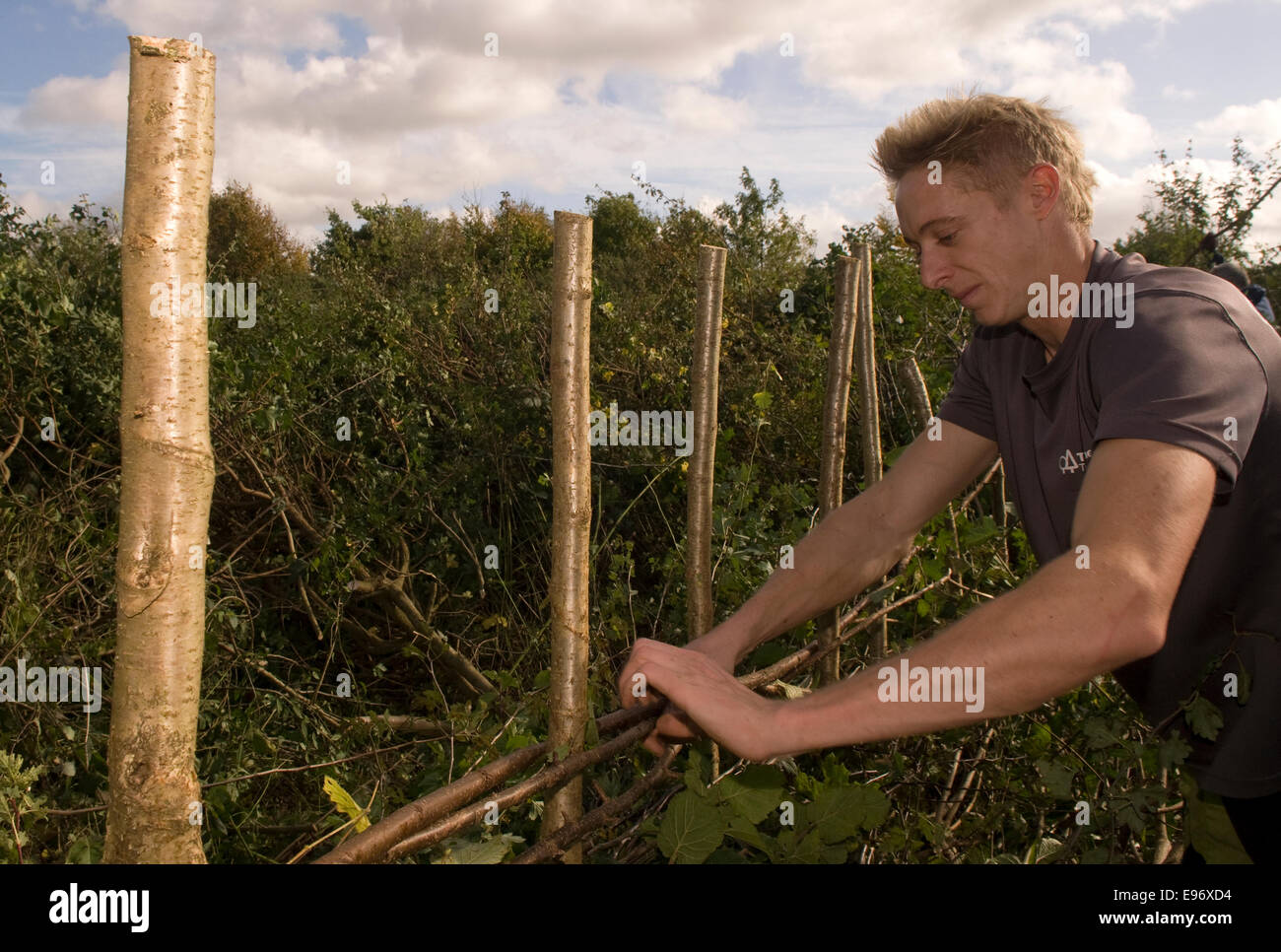 Man taking part in the Hampshire Hedgelaying Championships 2014, Medstead, Hampshire, UK. - Stock Image