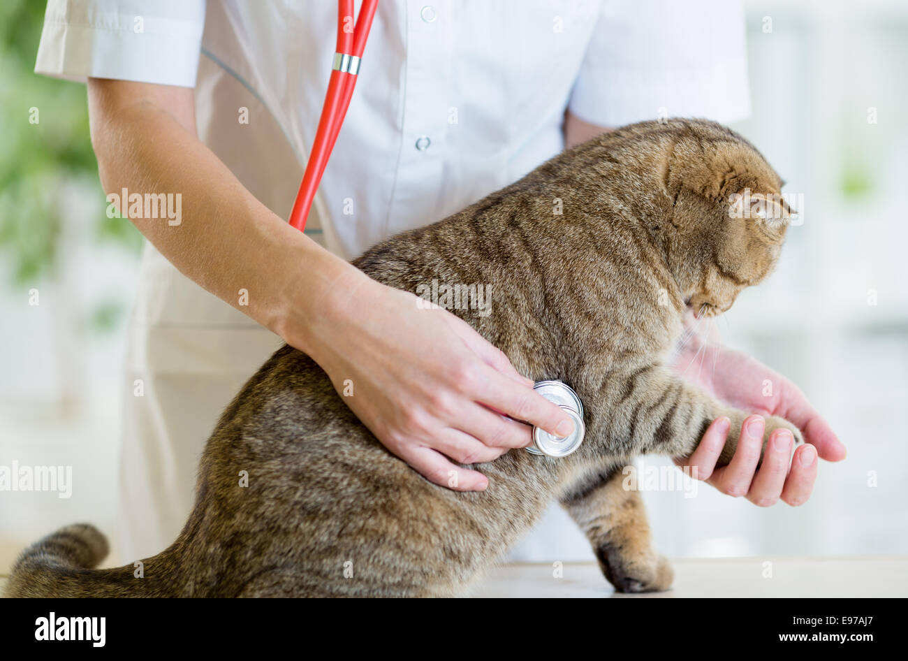 Veterinary doctor pet checkup with stethoscope in clinic - Stock Image
