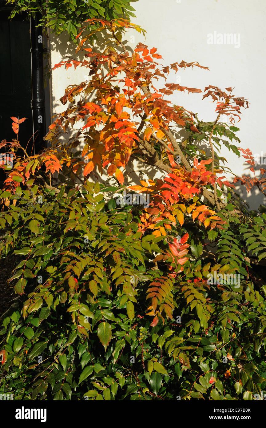 Autumn reds and yellows on a mahonia garden shrub - Stock Image