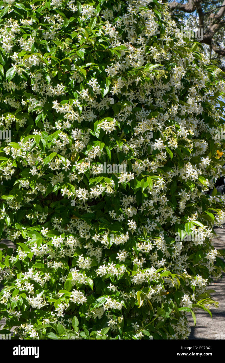 Flowering jasmine, Jasminum officinale, in a Mediterranean garden on the Bay of Naples near Sorrento in May - Stock Image