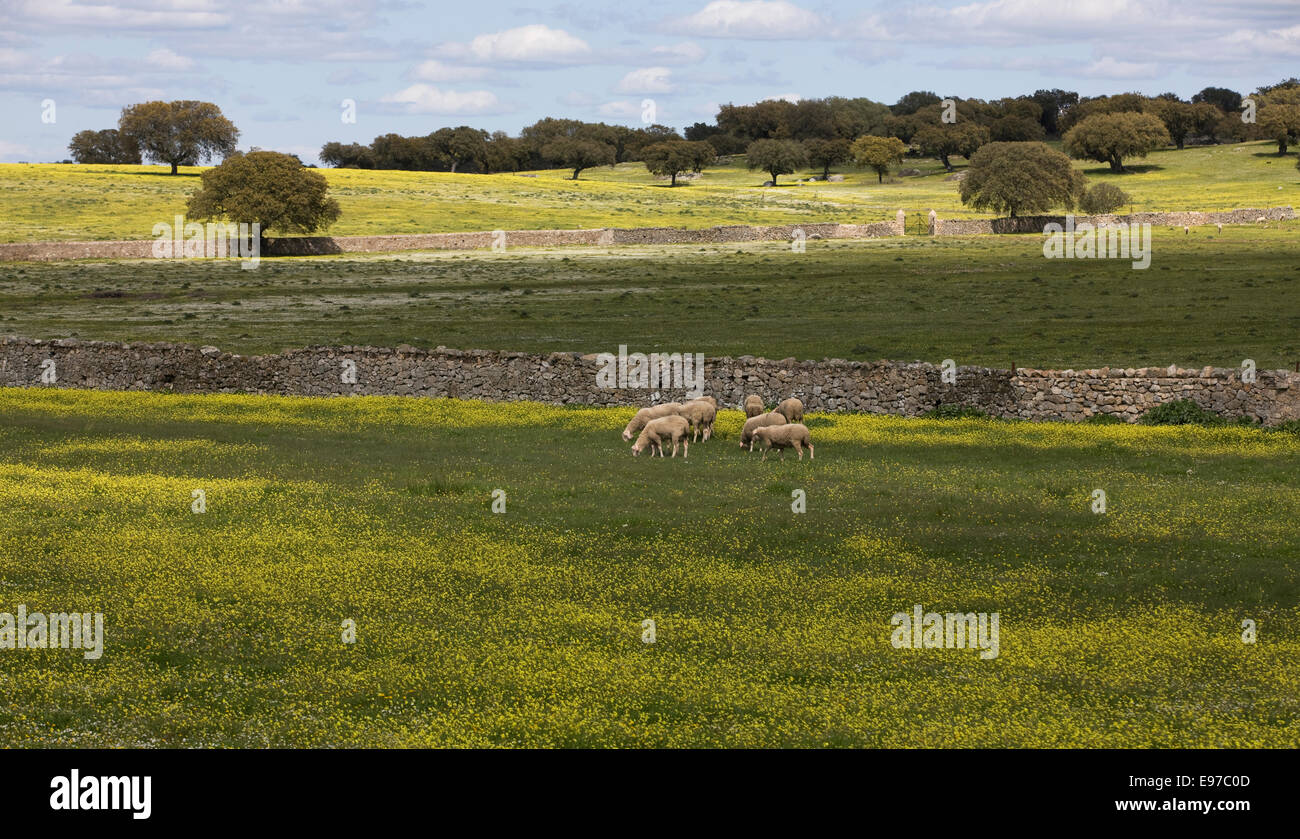 Spring sheeps on a field in La Mancha - Stock Image