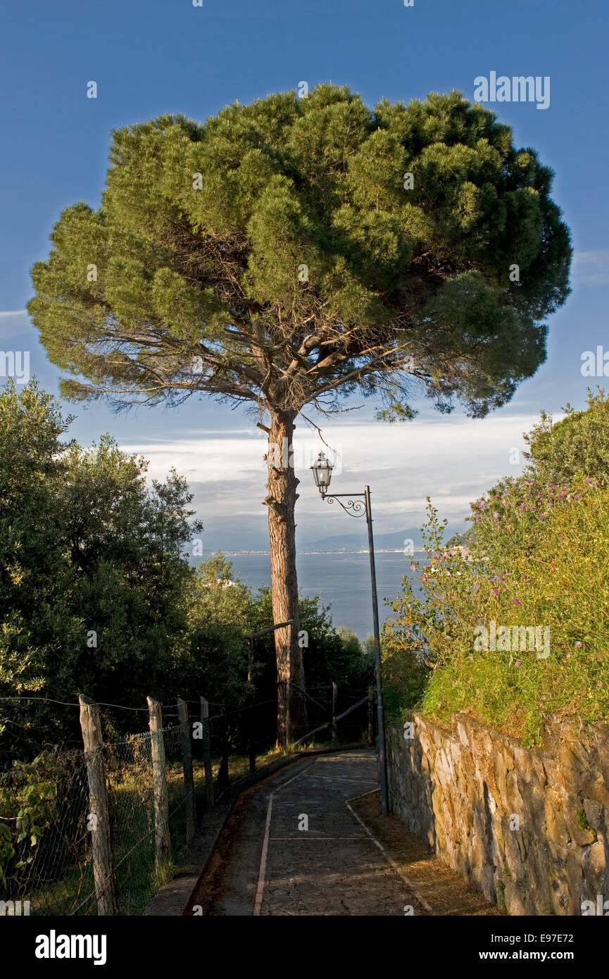 Umbrella or Italian stone pine tree, Pinus pinea near Sorrento, Italy - Stock Image