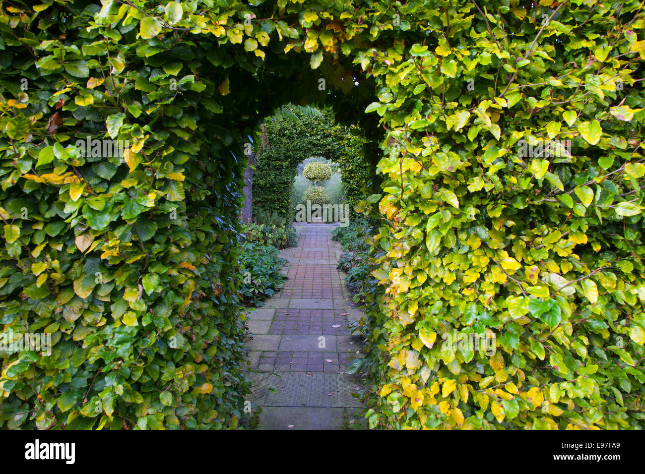 Arches in Beech hedging with path October - Stock Image