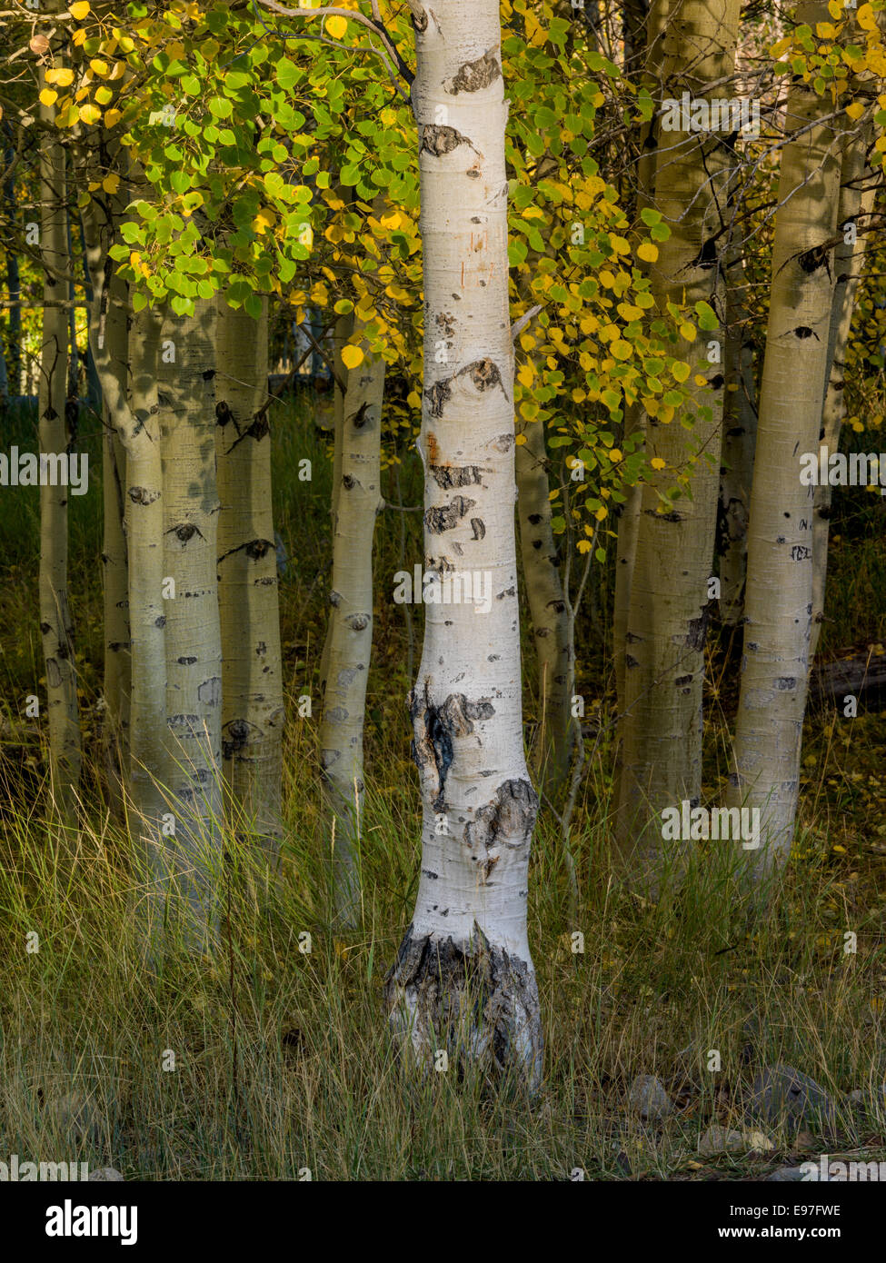 Aspen in Fall Foliage decorate the hill sides of the Boulder Mountain Range in Central Idaho. - Stock Image