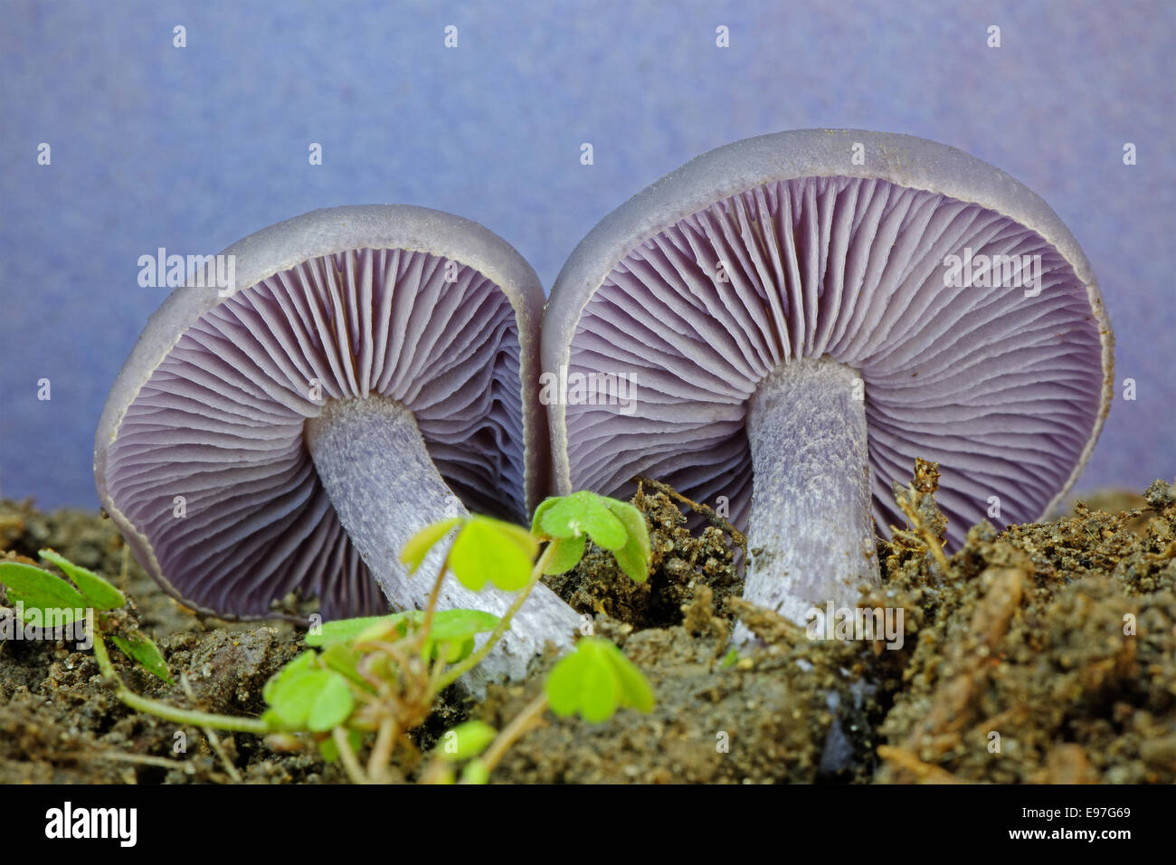 Edible Mould Stock Photos & Edible Mould Stock Images - Alamy