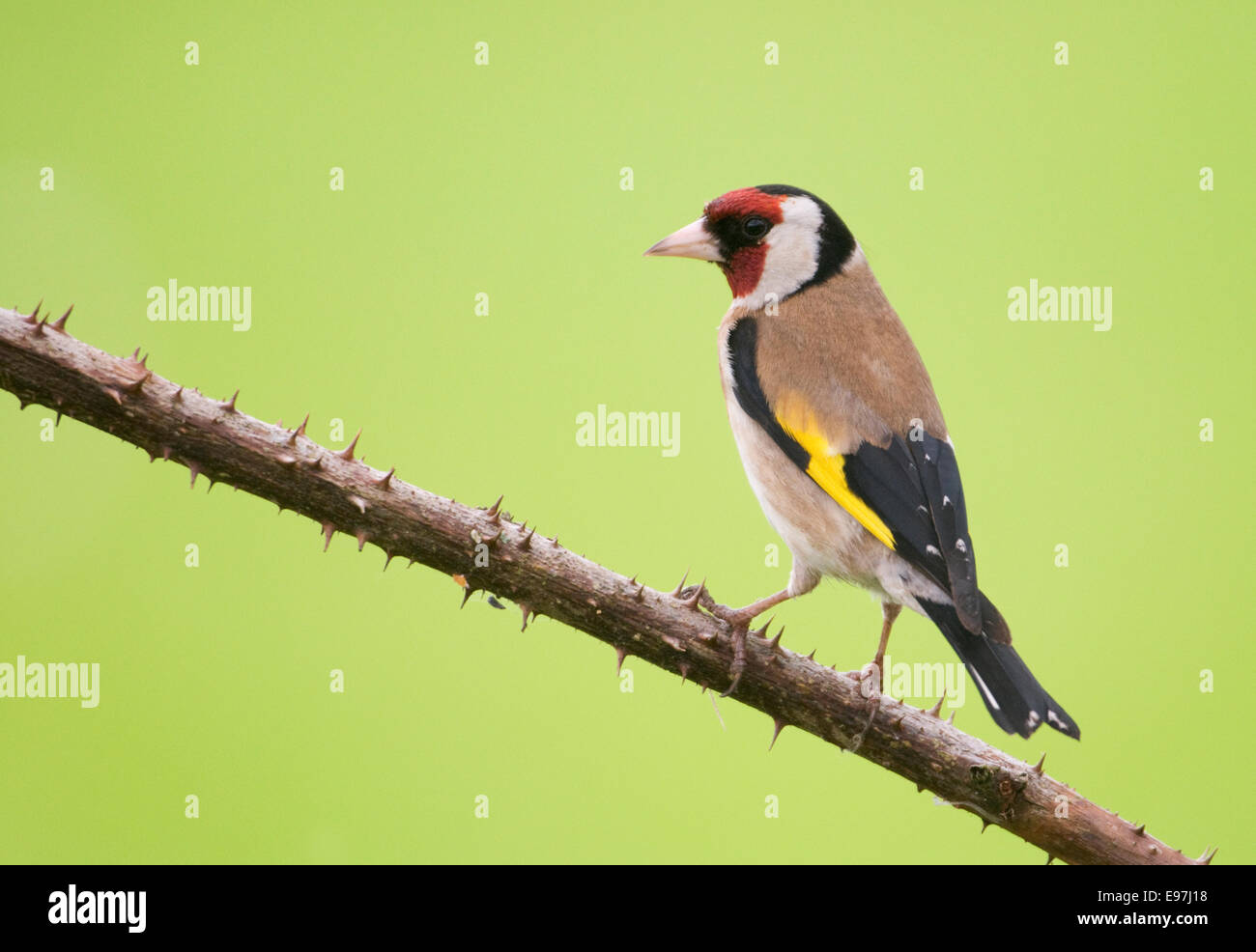 European Goldfinch (Carduelis carduelis) perched on a thorny bramble twig - Stock Image