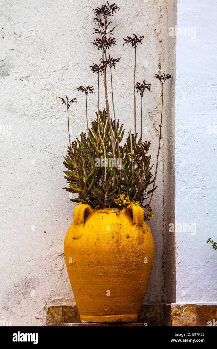 A cactus in an earthenware pot outside a whitewashed house in Sidi Bou Said, Tunisia. - Stock Image
