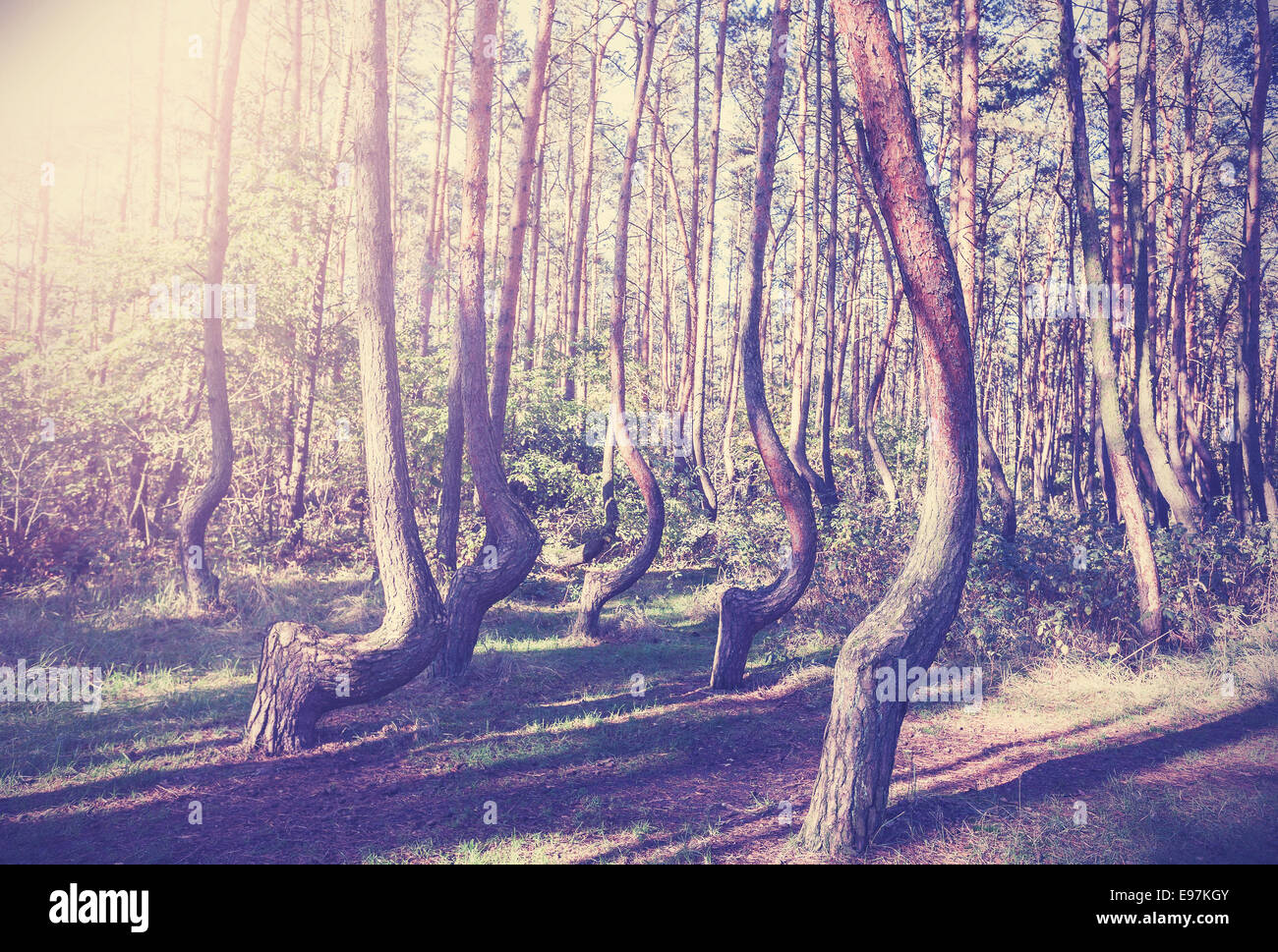 Vintage style picture of Crooked Forest, Poland. - Stock Image