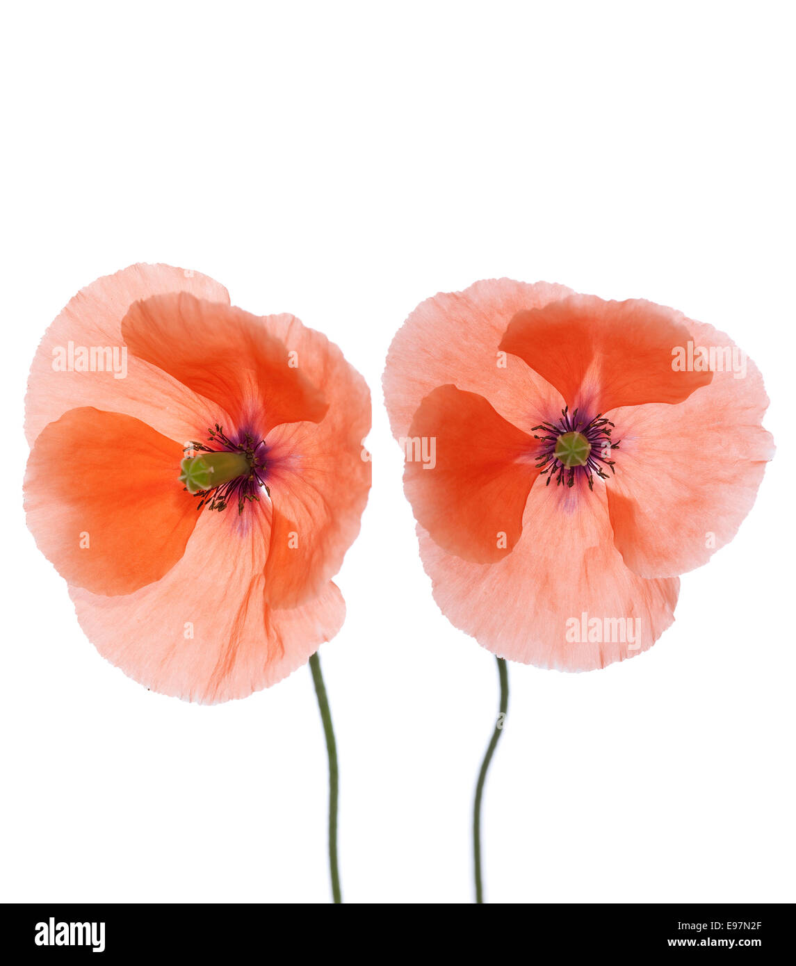 red of poppy (papaver) with stem on white background - Stock Image