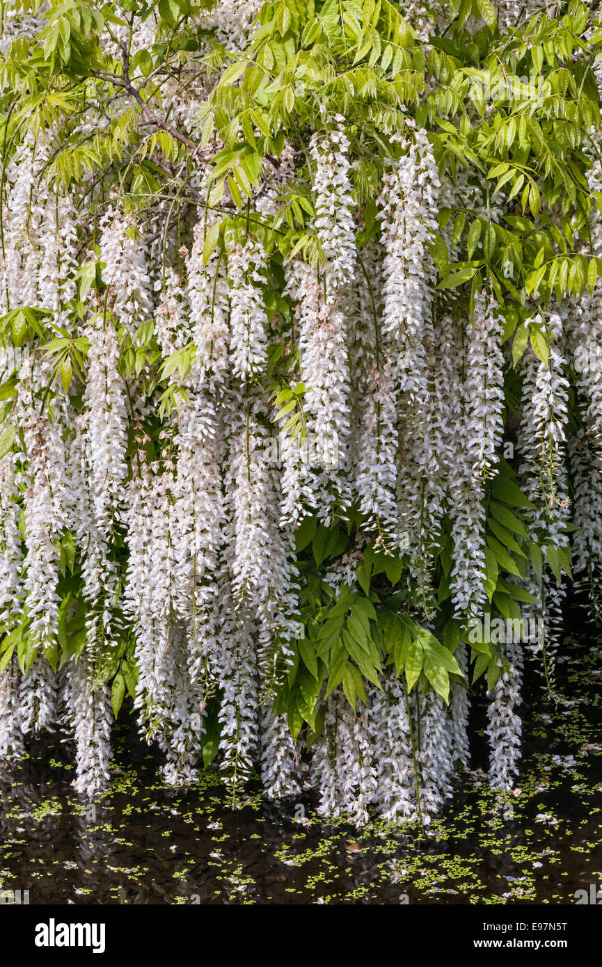 Antony, Torpoint, Cornwall. Wisteria flowering gracefully over a garden pool - Stock Image