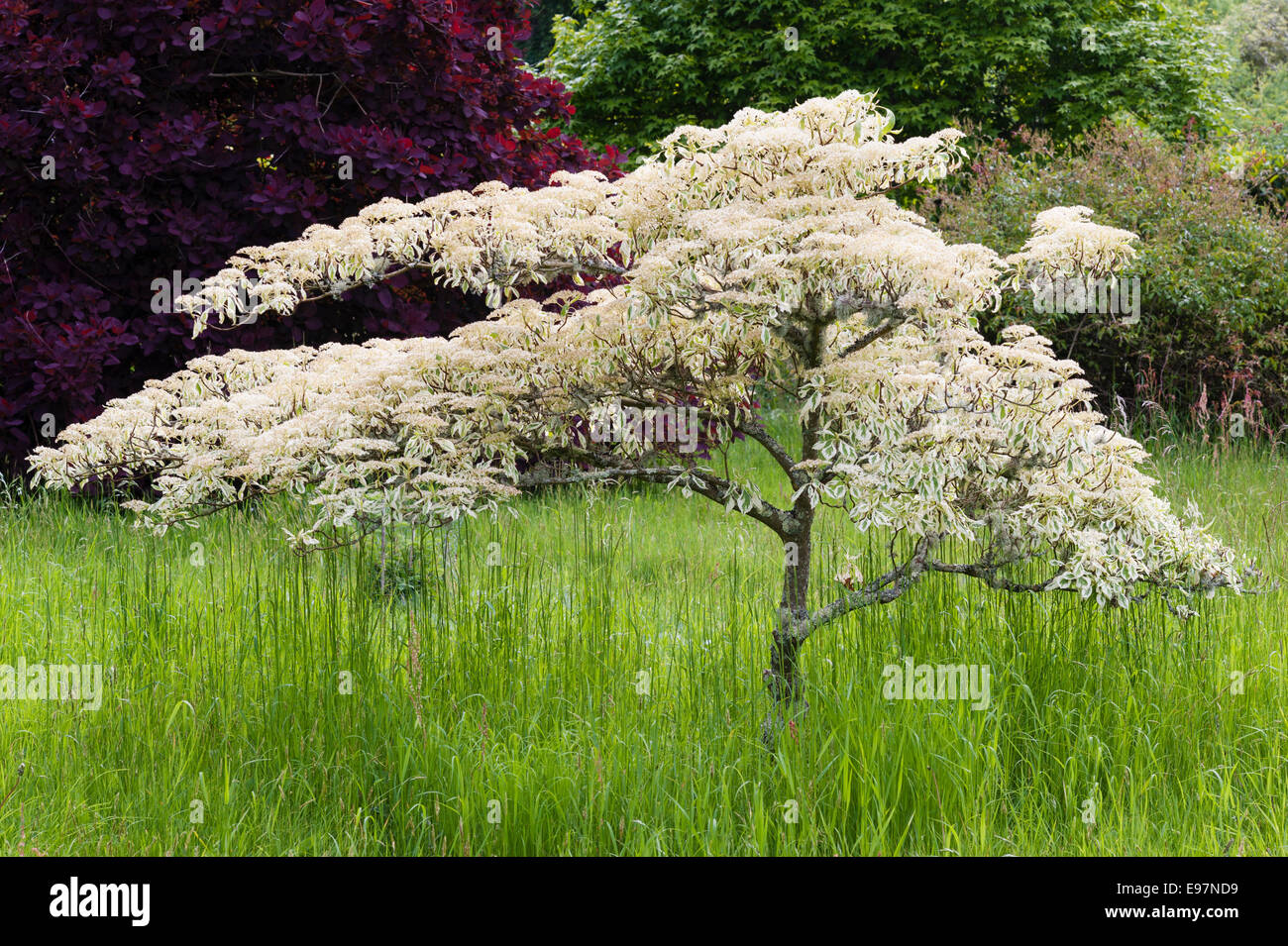 the wedding cake tree antony torpoint cornwall a wedding cake tree cornus 20916